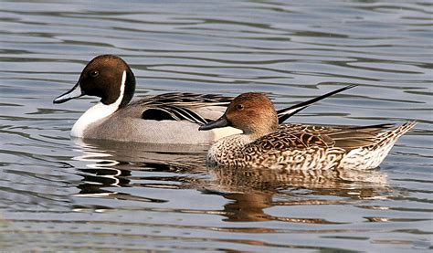 picture pintail dick jpg 800x468